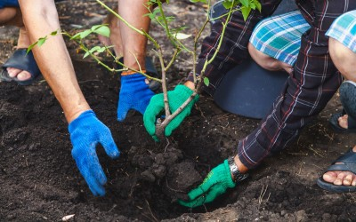 How and when to transplant a rose bush