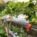 Strawberry is the only fruit that bears its seeds on the outside. The average strawberry has 200 seeds