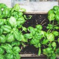 Basil can tend to bolt during the hot summer days, so a handy tip is to plant new ones every 3 weeks so you will have a continuous supply. Bees love Basil flowers so leave your old plants in the ground and it will encourage these much-needed friends into your garden. Basil doesn't like direct sunlight so they are happy to be planted amongst other vegetables or in a shadier area.