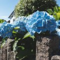 You can change a hydrangea's colour by altering the pH level of the soil.