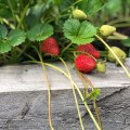 If you cut off the runners on your strawberry plants now and plant them into our Patio plus potting mix, then they will be ready to plant out when the weather gets colder over winter, as they like a frost to give them a boost before their cropping season.